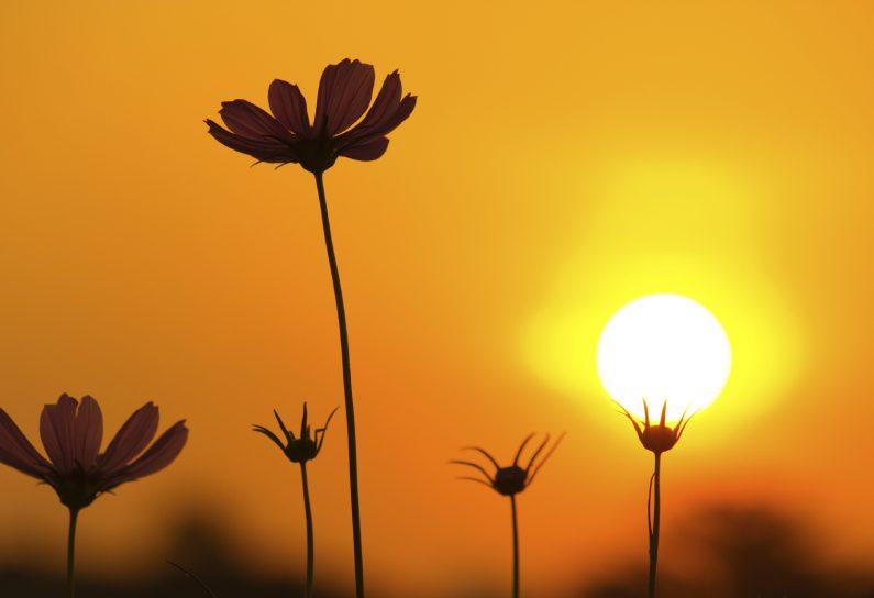 Lichtgidsen Zonnebloemen in het licht